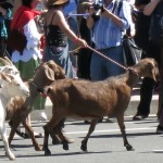 Goats lead the procession.